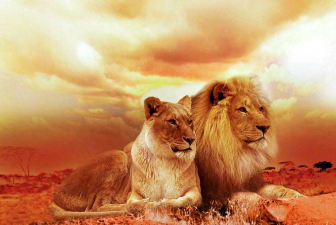 Lwy w Afryce